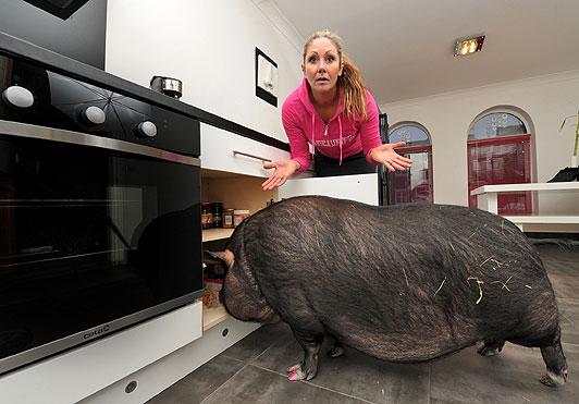 Il maialino casalingo che pesa come un giocatore di rugby - Video sesso sul divano ...