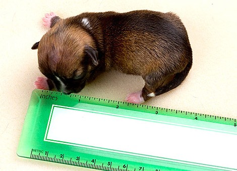 Beyonce, il cane più piccolo del mondo