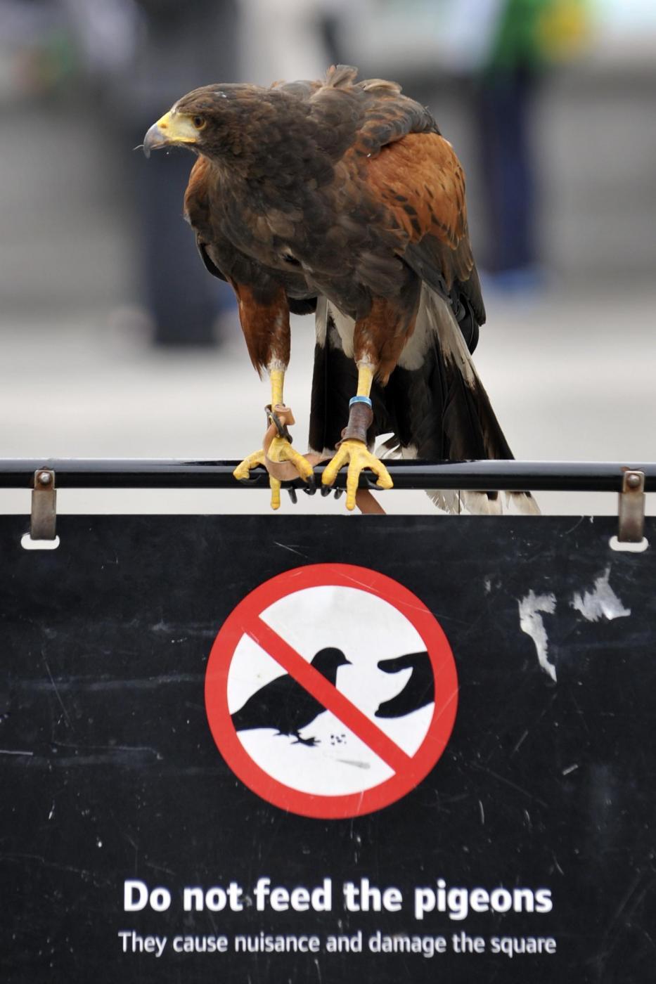 Il falco di Trafalgar square01