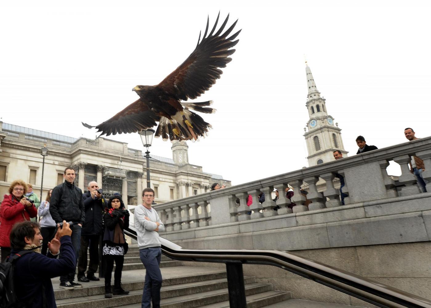 Il falco di Trafalgar square03