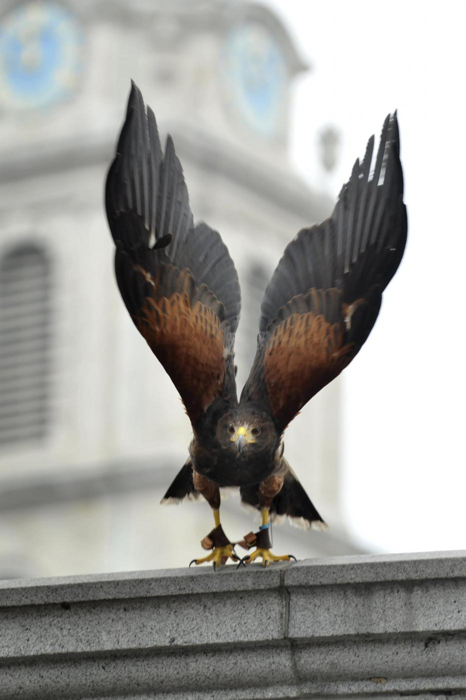Il falco di Trafalgar square04