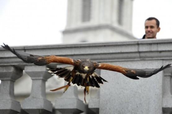 Il falco di Trafalgar square05