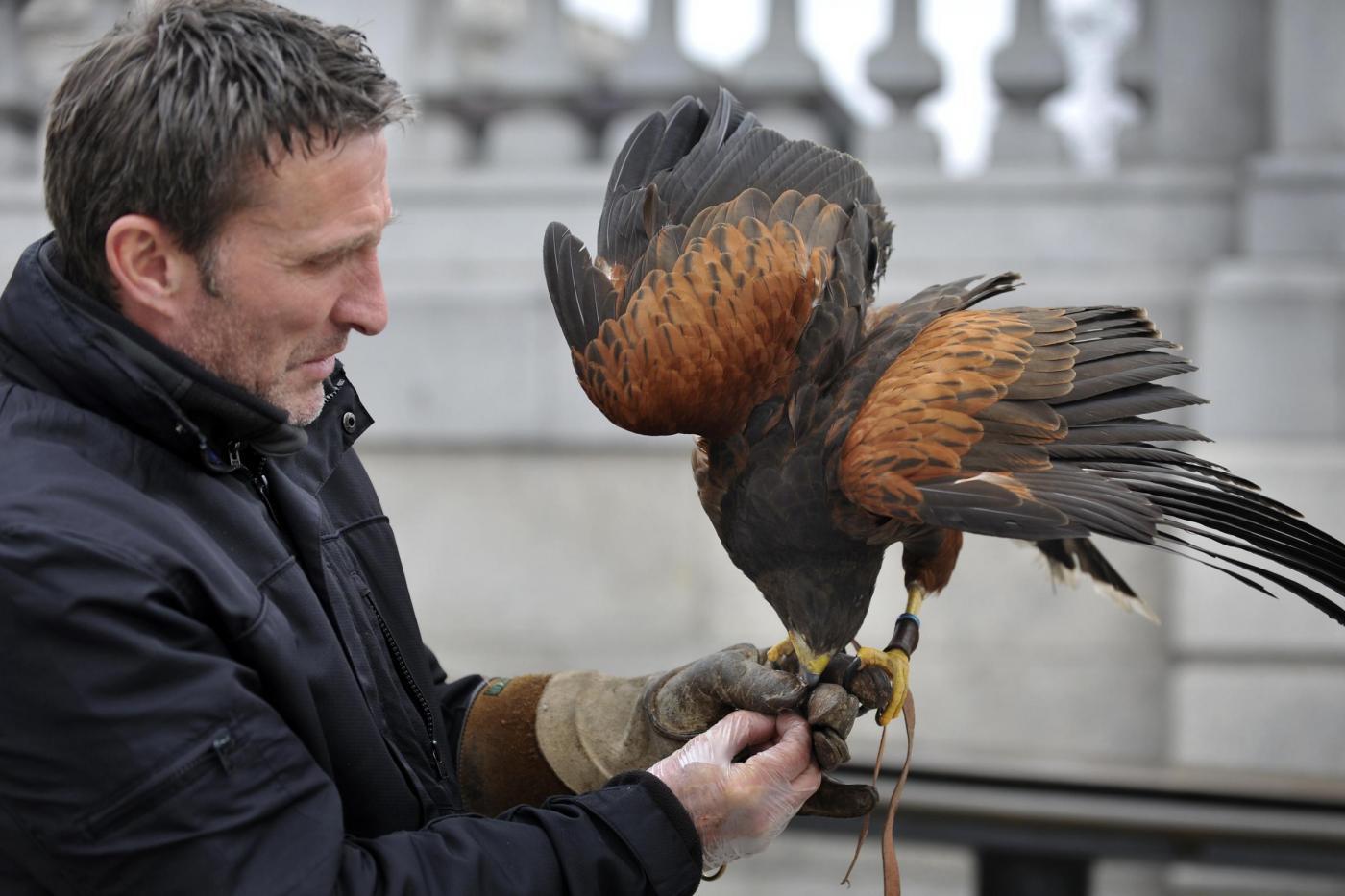 Il falco di Trafalgar square06