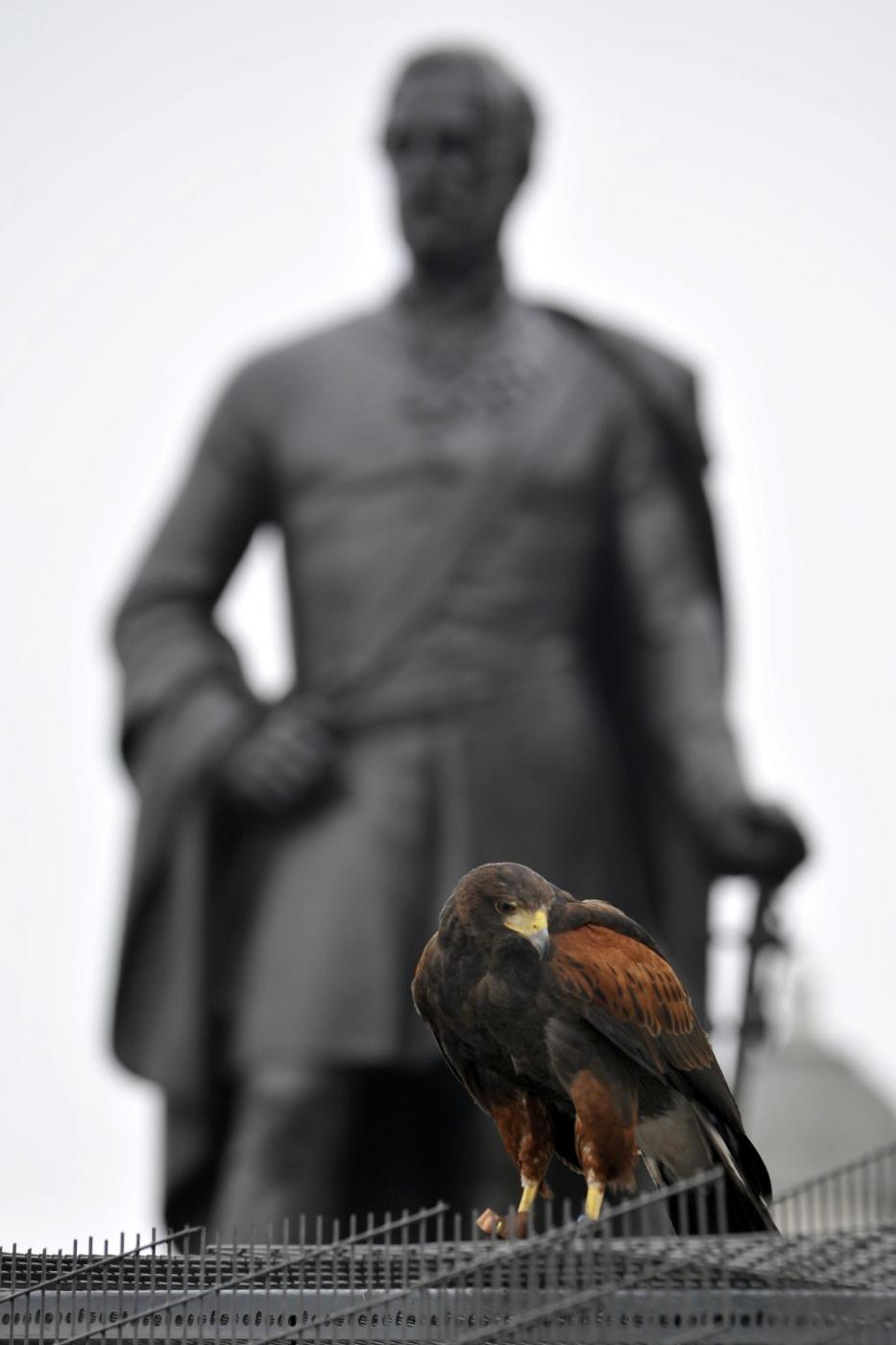 Il falco di Trafalgar square07