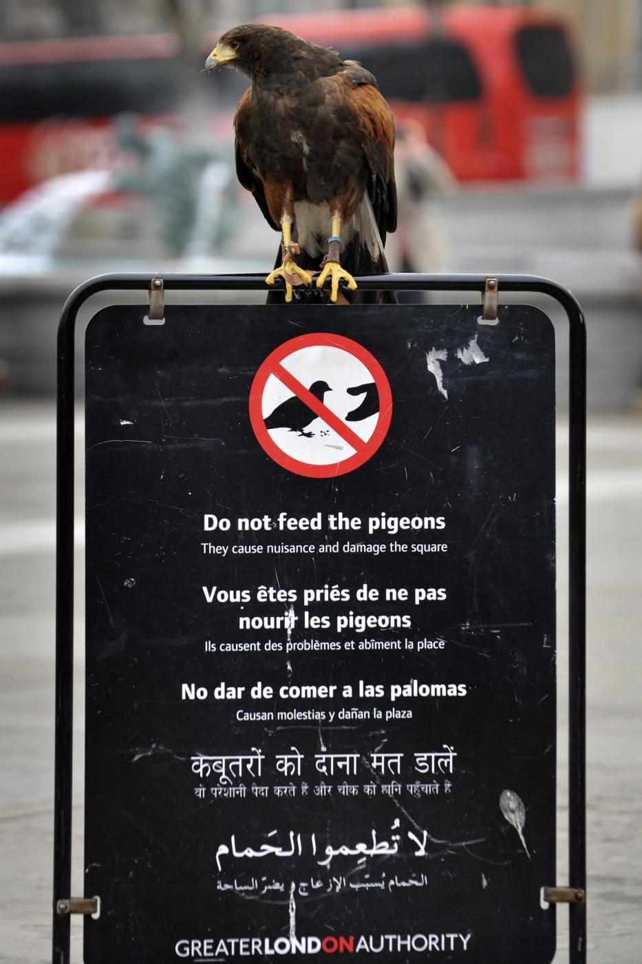 Il falco di Trafalgar square09