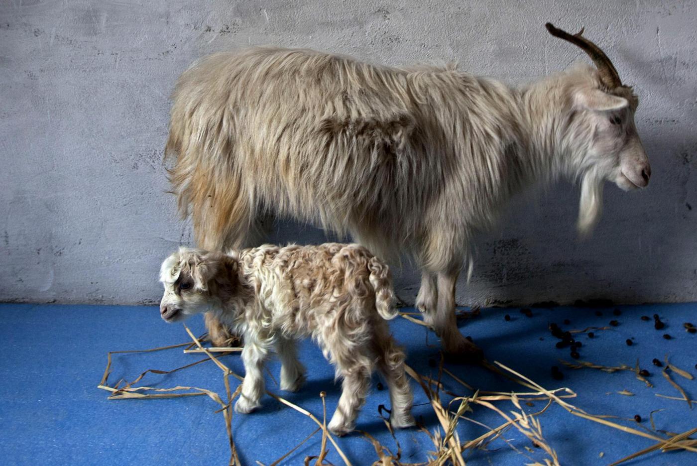 Noori, la prima capra Pashima clonata 03