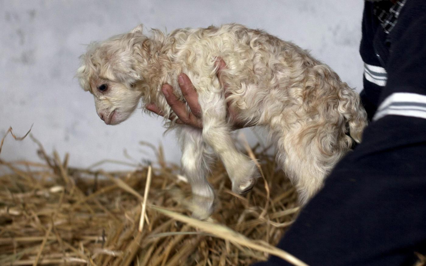 Noori, la prima capra Pashima clonata 01