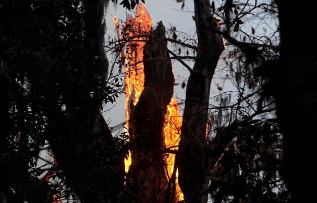 Ragazza incendio quercia di 3500 anni 02