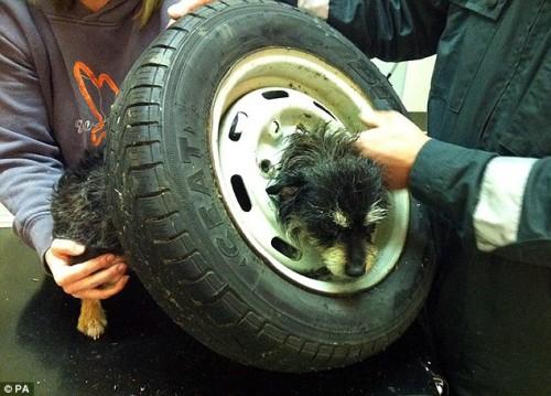 Cane nella ruota di scorta