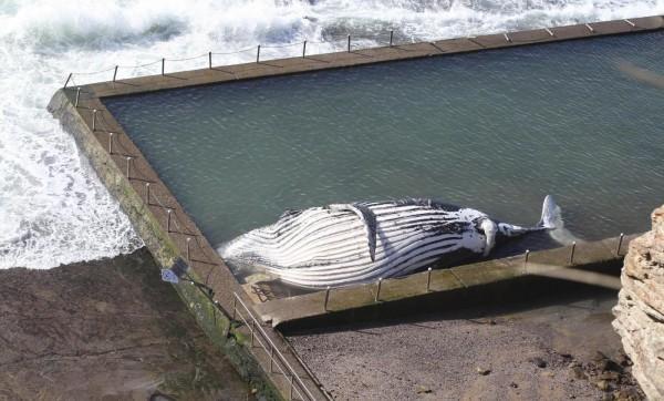 Australia, carcassa di una grande balena in una piscina davanti al mare di Sydney02