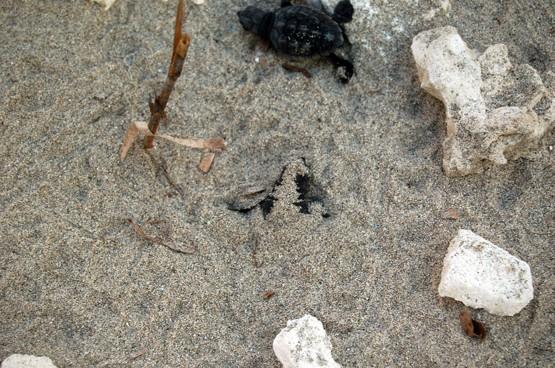 Schiusa di uova di tartaruga sulla spiaggia del Salento 0