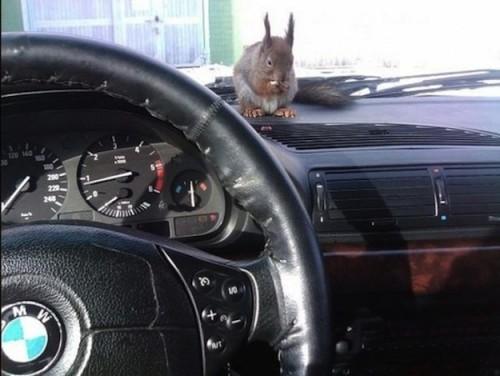 Il tassista che guida con lo scoiattolo 05