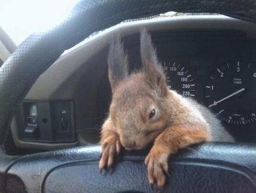 Il tassista che guida con lo scoiattolo 07