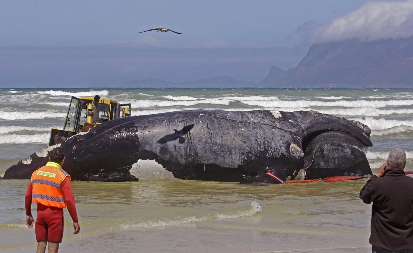 Sudafrica, la carcassa di balena lunga 15 metri 03