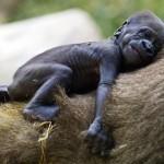 Newborn gorillas in Tel Aviv02