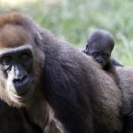 Newborn gorillas in Tel Aviv01