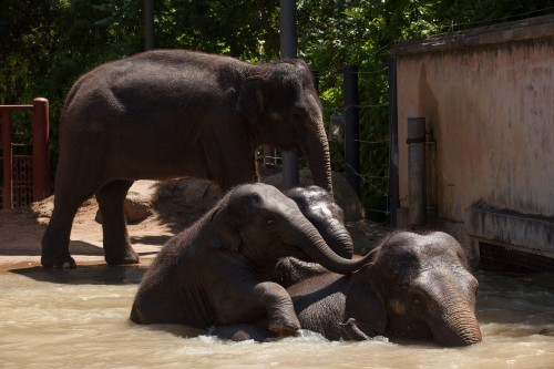 Elephants pool swim at Melbourne Zoo01