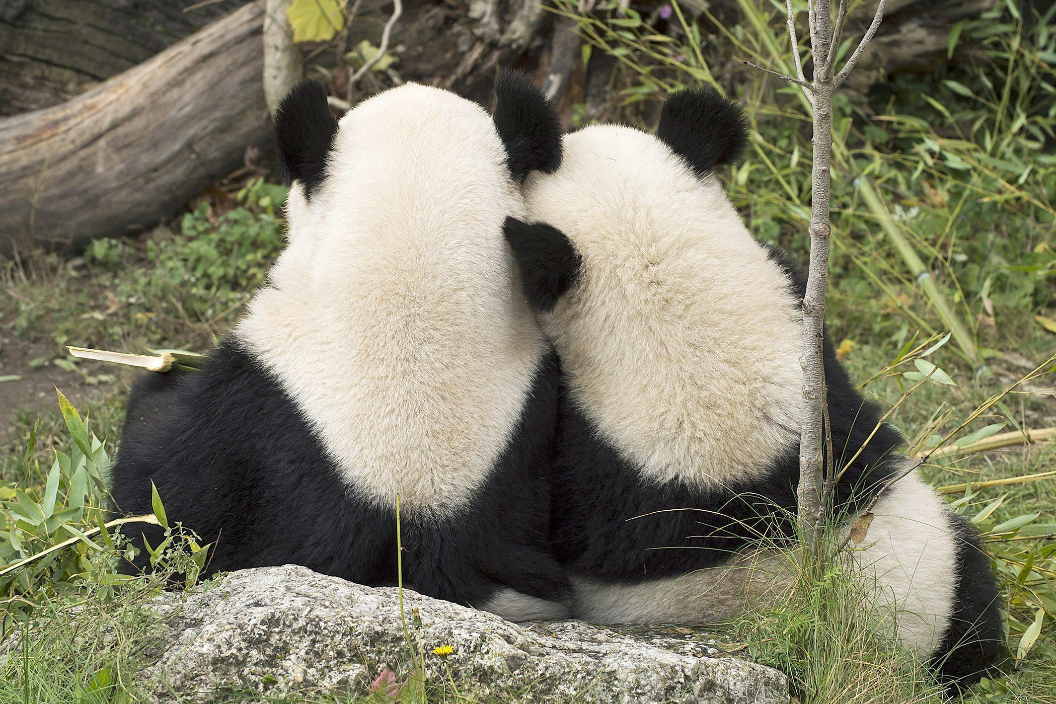 Panda bear Fu Hu returns to China01