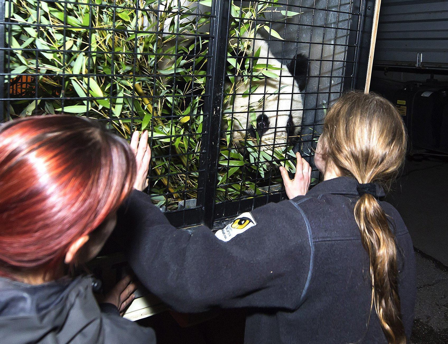 Panda bear Fu Hu returns to China03