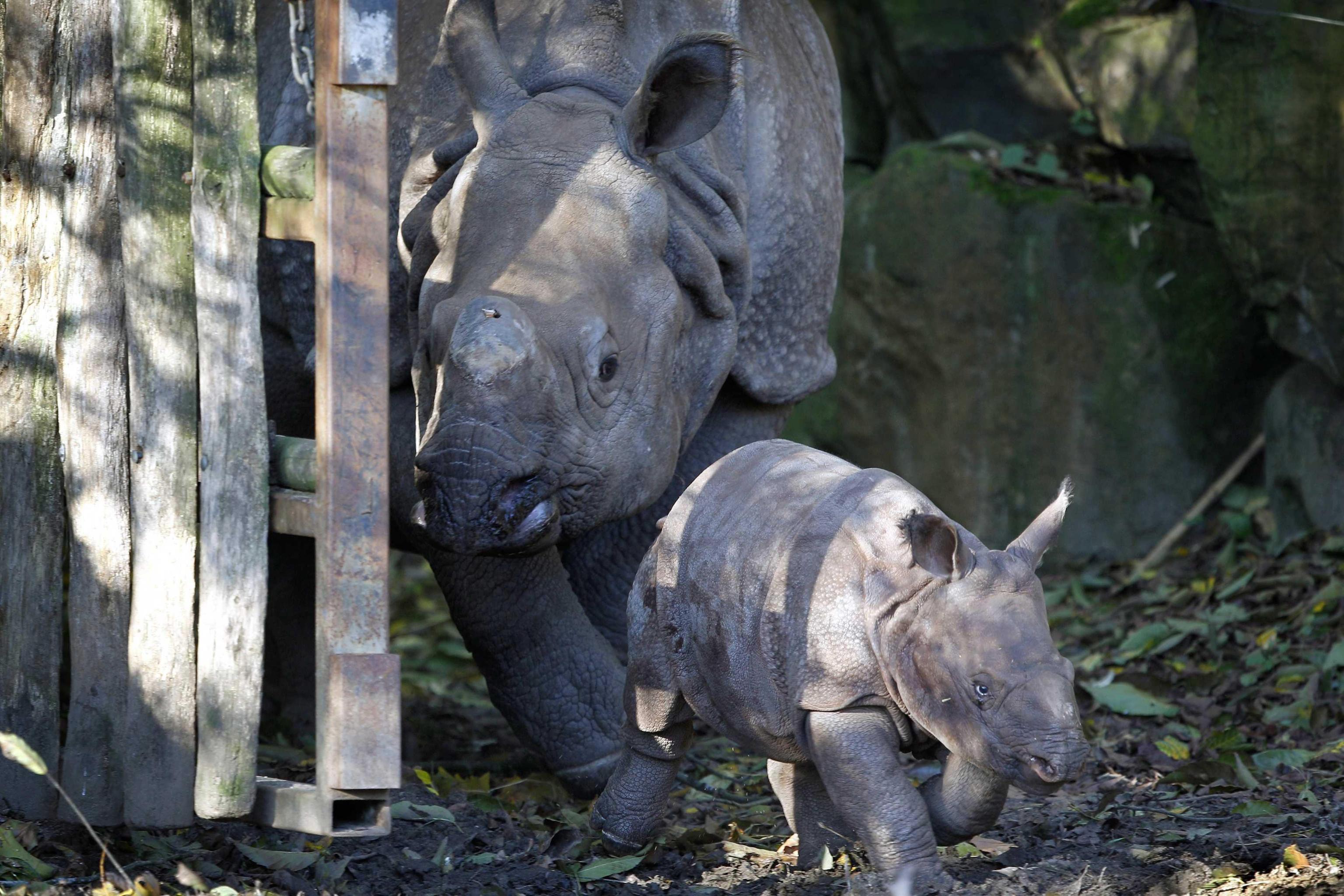 Rhino Baby Zwatra01