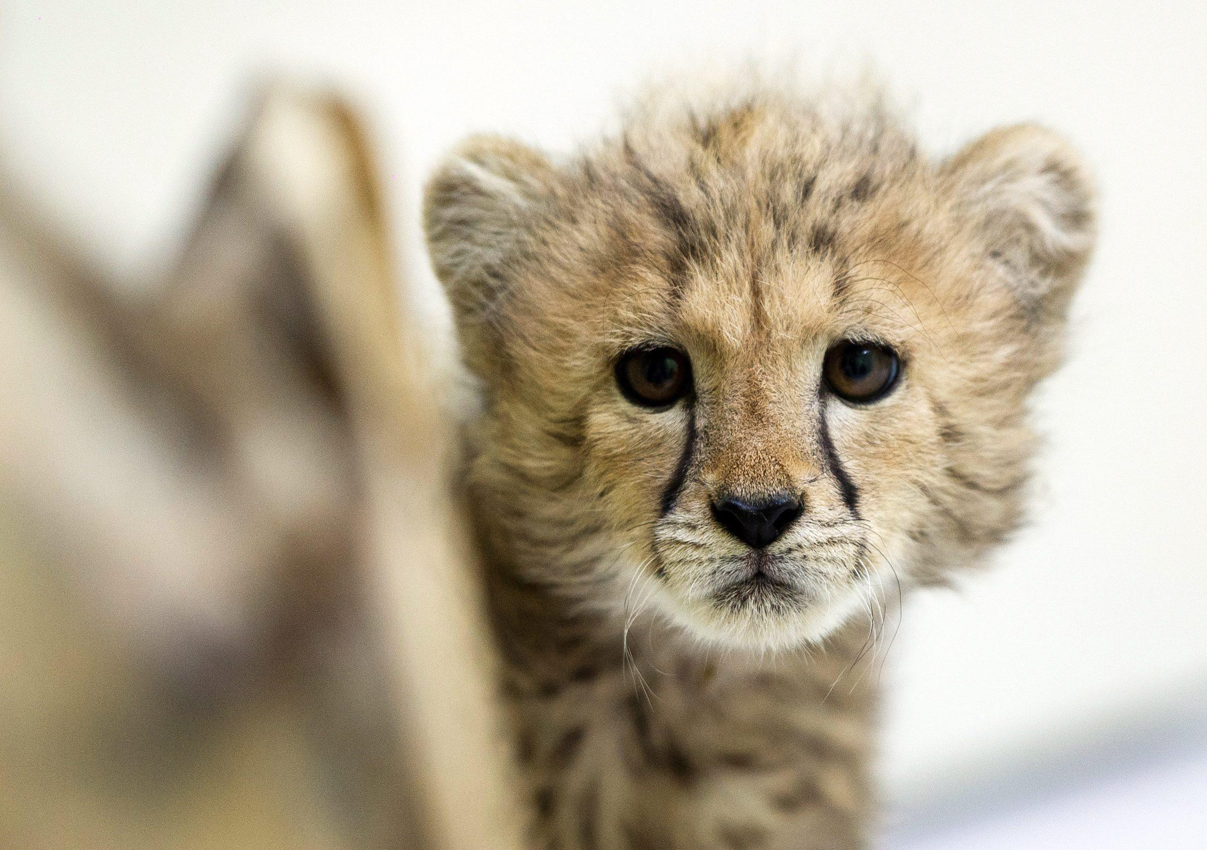 Baby cheetah in Lodz Zoo02