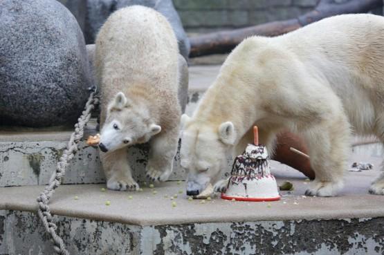 L'orsetto polare Anori compie un anno09