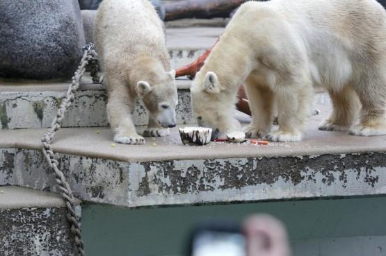 L'orsetto polare Anori compie un anno08