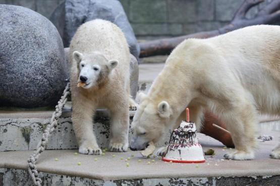 L'orsetto polare Anori compie un anno07