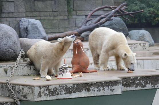L'orsetto polare Anori compie un anno05