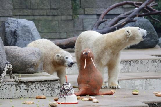 L'orsetto polare Anori compie un anno03