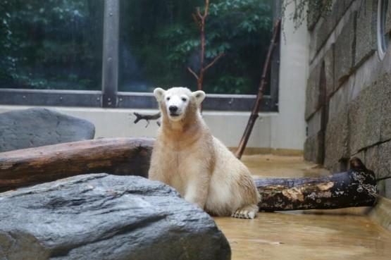 L'orsetto polare Anori compie un anno02