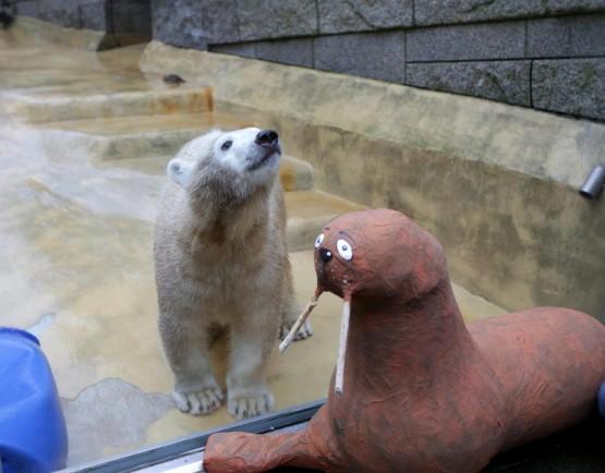 L'orsetto polare Anori compie un anno01