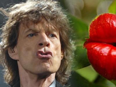 """Il fiore """"labbra"""" che assomiglia al logo dei Rolling Stones011"""