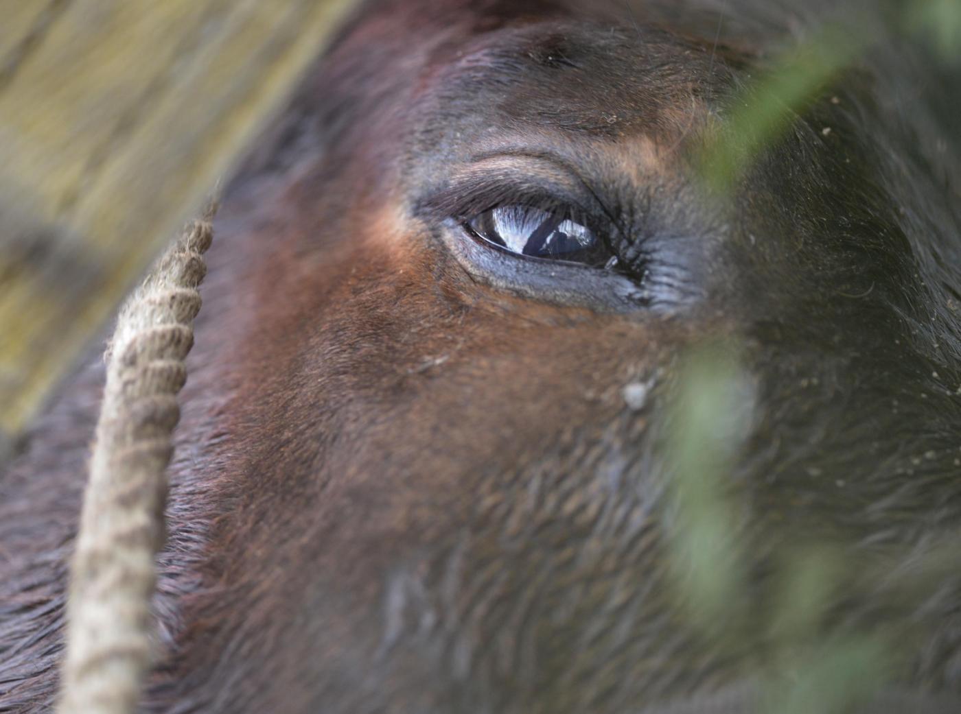 Roma: Salvataggio cavallo nel fiume Aniene13