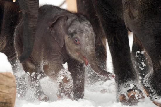 Il piccolo elefantino nato allo zoo di Hannover 02