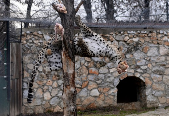 A leopard jumps to take it's daily meal 01