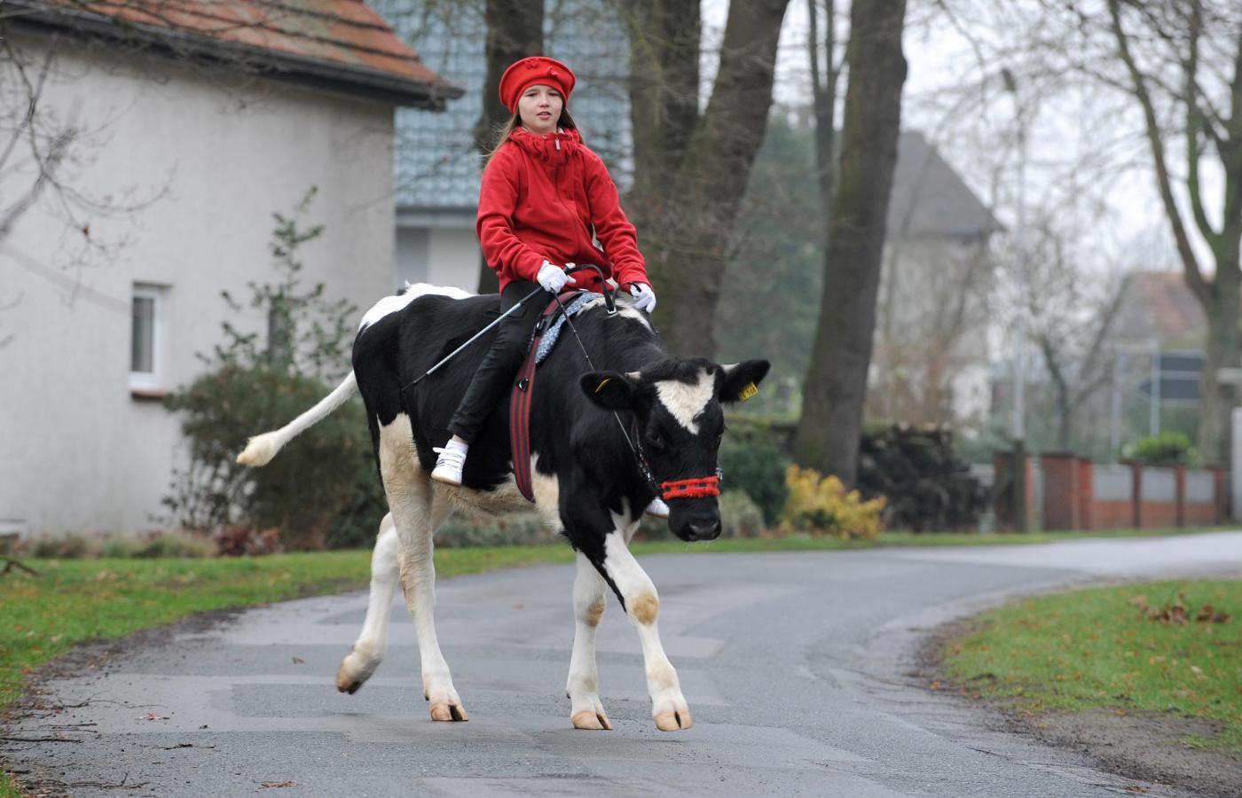 Germania, la ragazzina che a 12 anni cavalca la mucca07