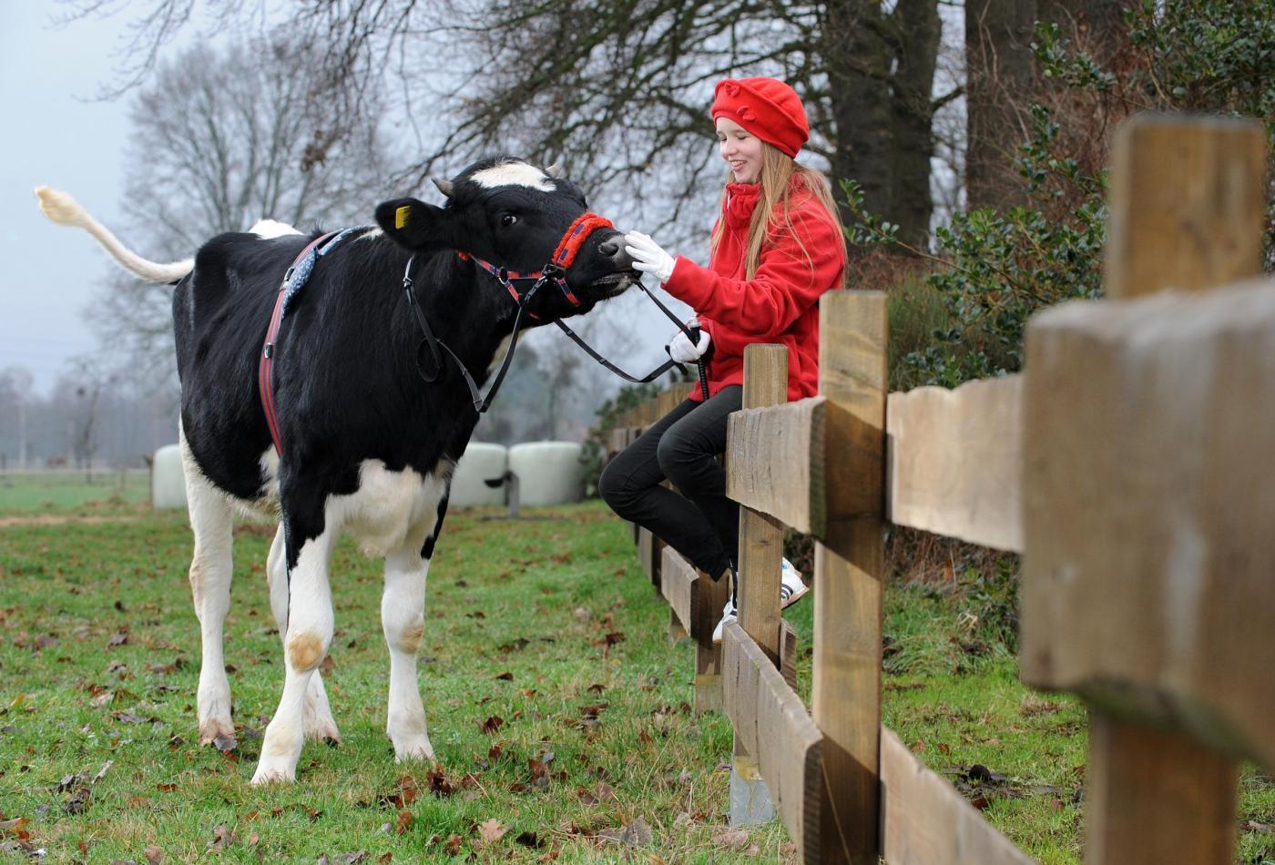 Germania, la ragazzina che a 12 anni cavalca la mucca06