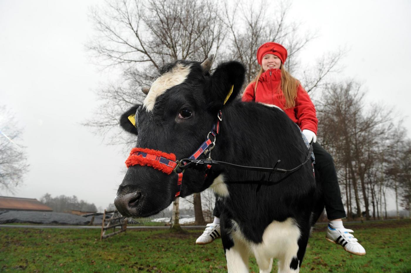 Germania, la ragazzina che a 12 anni cavalca la mucca05