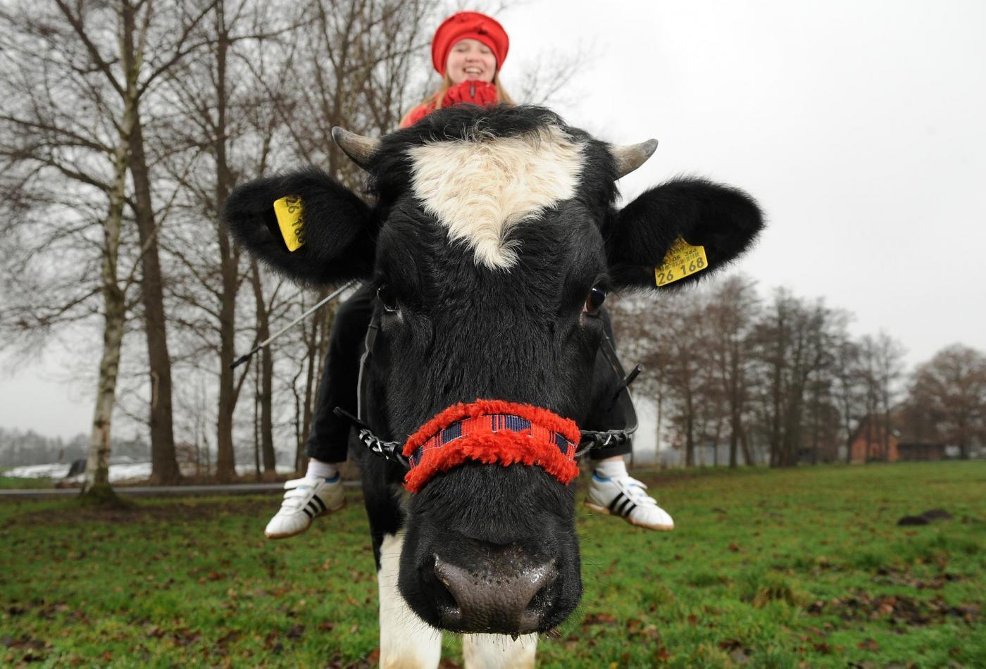 Germania, la ragazzina che a 12 anni cavalca la mucca03
