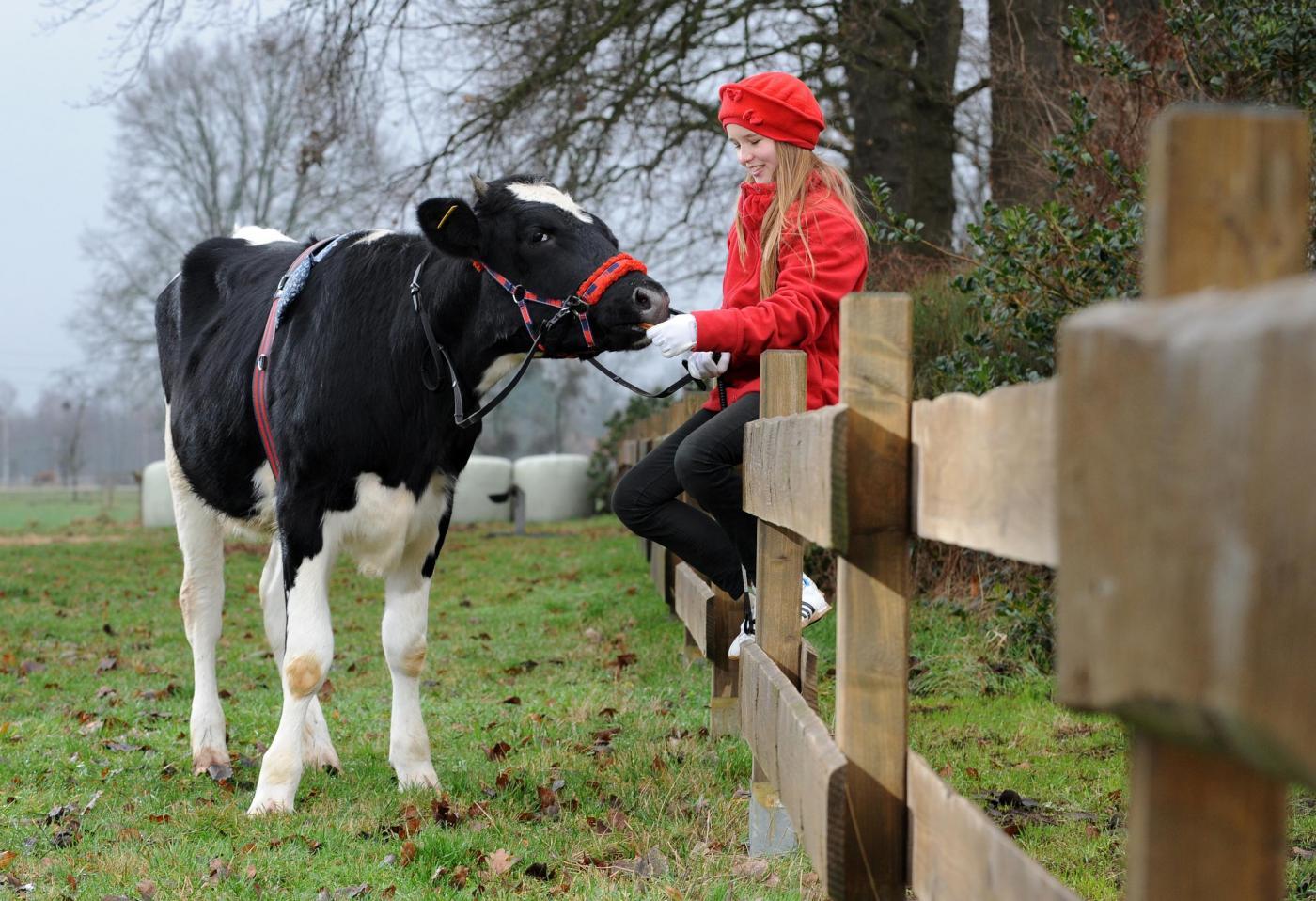 Germania, la ragazzina che a 12 anni cavalca la mucca02