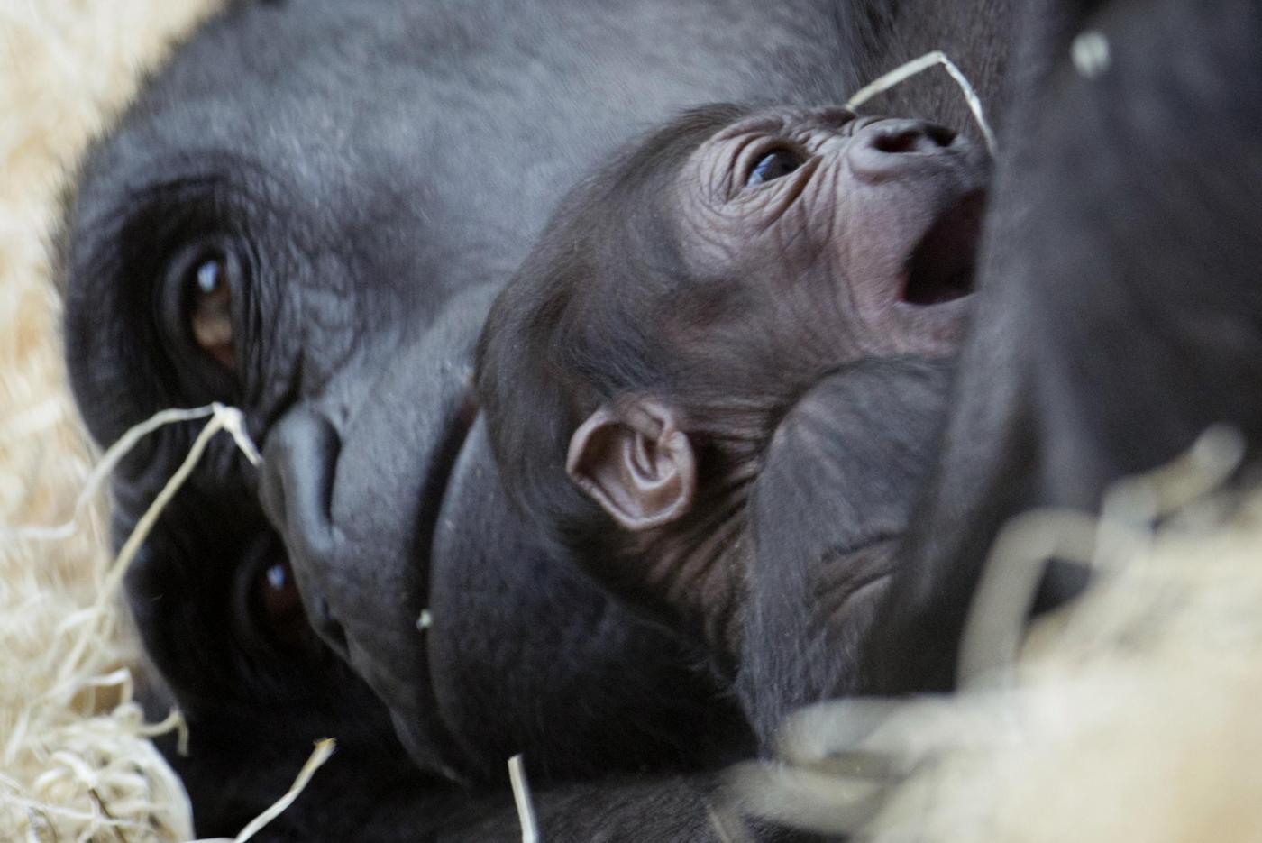 Gorilla nato nello zoo di Praga il 22 dicembre è già una attrazione02
