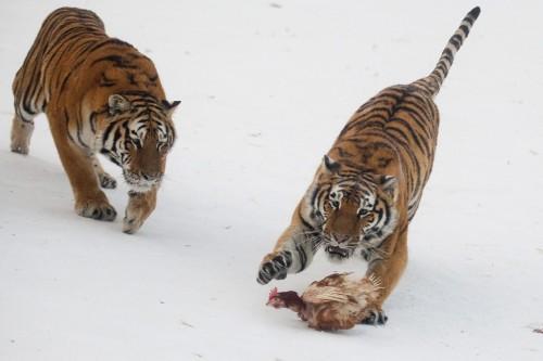 Cina la tigre siberiana del parco di harbin foto for Disegni delle tigri