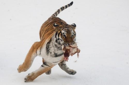 Harbin Siberian Tiger Park02