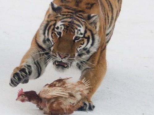 Harbin Siberian Tiger Park03