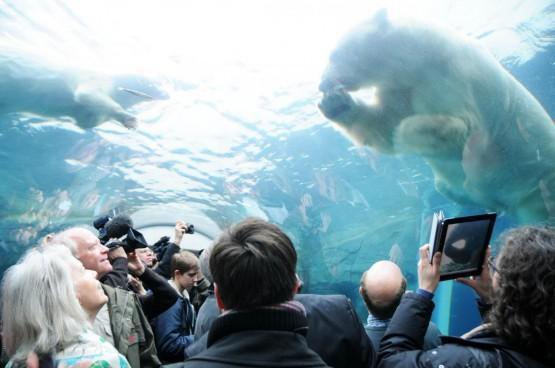 Orsi polari nello zoo di Copenhagen04