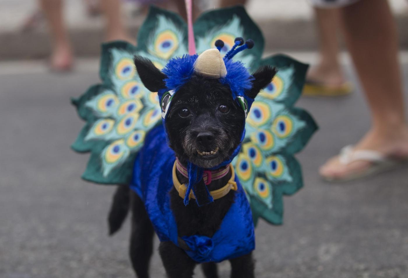 Rio de Janeiro, la sfilata dei cani prima del Carnevale07