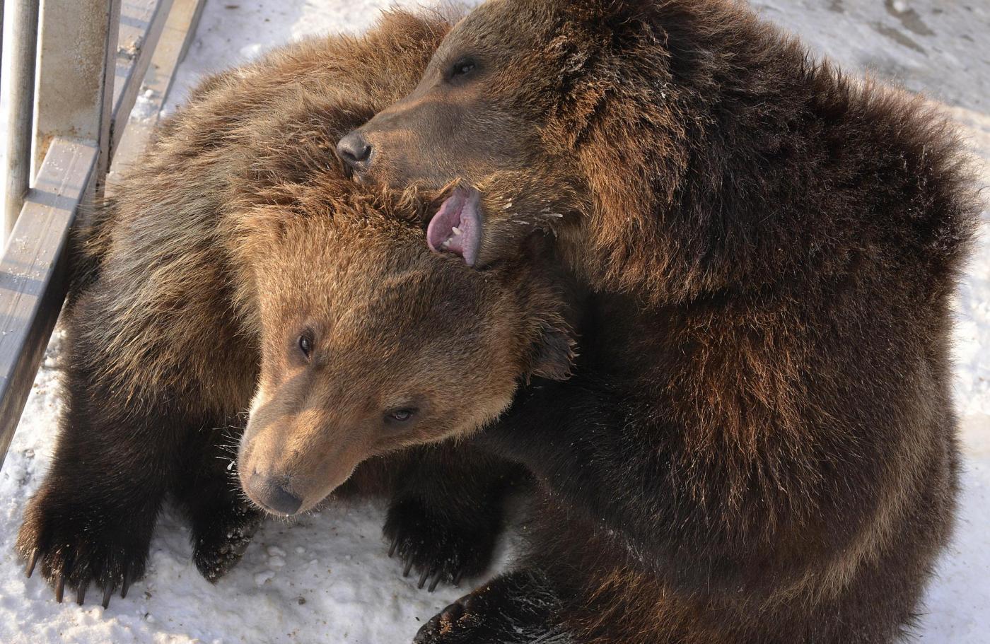 Kosovo, liberati due orsi01