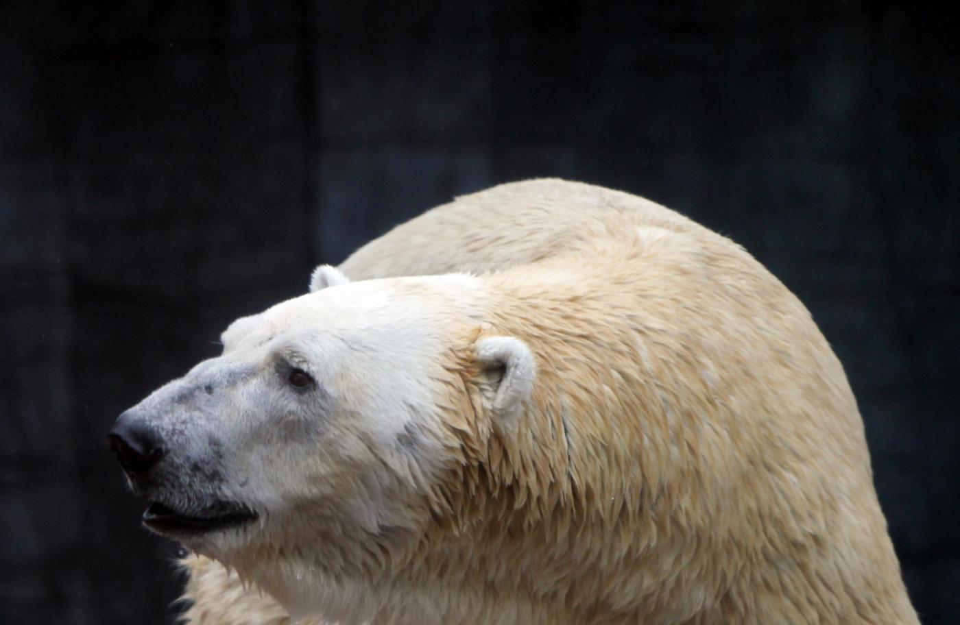 L'orso polare dello zoo di Singapore04