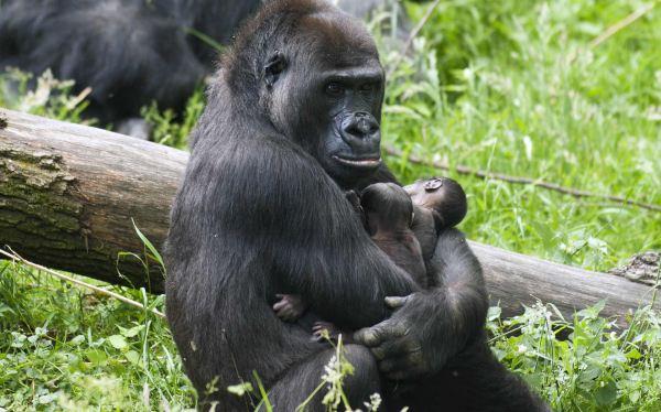 Due gemelli per mamma gorilla l'evento allo zoo di Arnhem02